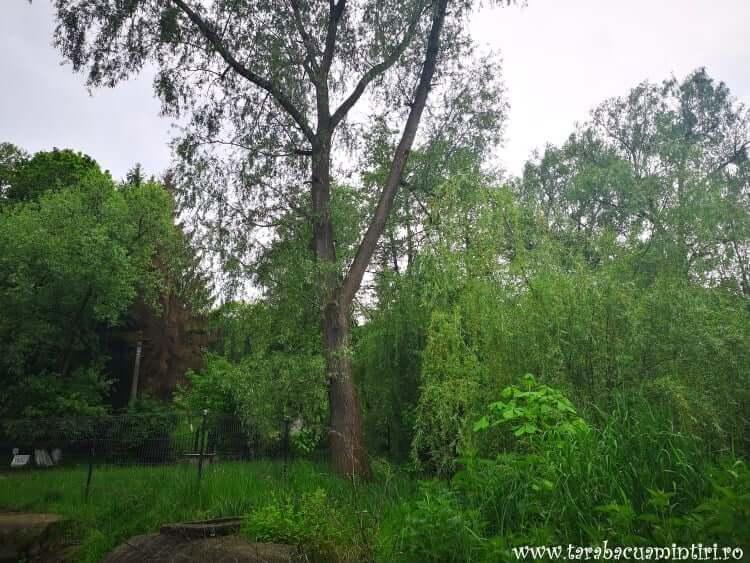 Copaci Buciumeni