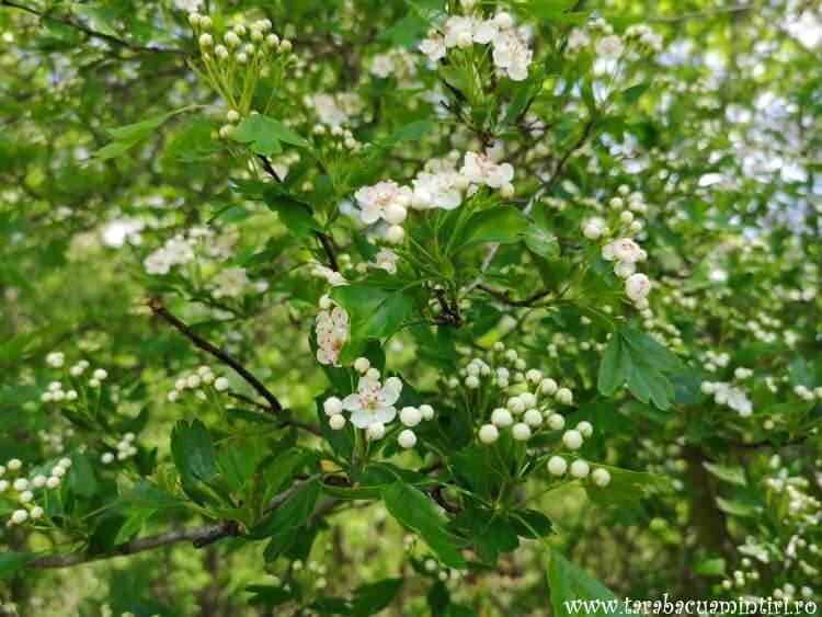 Flori Caraorman