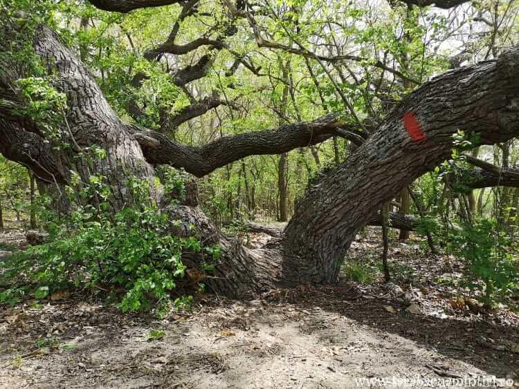 Stejarul îngenunchiat Caraorman