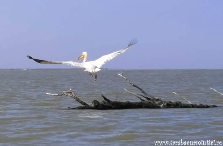 Pelican în zbor