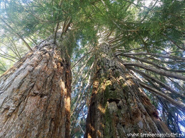 Arborele de Sequoia din Rogojel